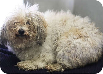 Poodle (Miniature) Dog for adoption in Berkeley, California - Napoleon