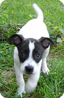 American Bulldog/Labrador Retriever Mix Puppy for adoption in Bel Air, Maryland - Mabel