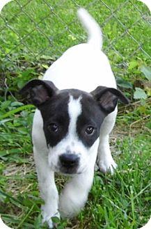 American Bulldog/Labrador Retriever Mix Puppy for adoption in Bel Air, Maryland - Mabel