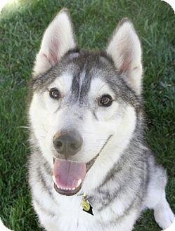 Husky Mix Dog for adoption in Sacramento, California - Buck