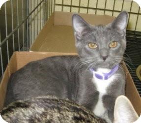 Domestic Shorthair Cat for adoption in Stillwater, Oklahoma - Kruse