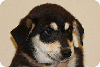 Shepherd (Unknown Type) Mix Puppy for adoption in McKinney, Texas - Mustard