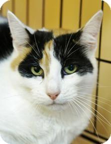 Calico Cat for adoption in Medford, Massachusetts - Ticker