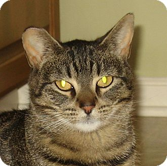 Domestic Shorthair Cat for adoption in Hamilton, New Jersey - CHLOE
