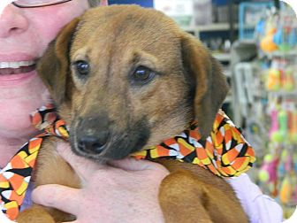Dachshund/Beagle Mix Puppy for adoption in Cincinnati, Ohio - Rummy: 20 weeks