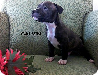 American Staffordshire Terrier Mix Puppy for adoption in Higley, Arizona - CALVIN