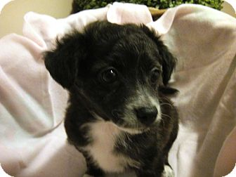 Toy Fox Terrier/Terrier (Unknown Type, Small) Mix Puppy for adoption in Santa Ana, California - Leila (YW)