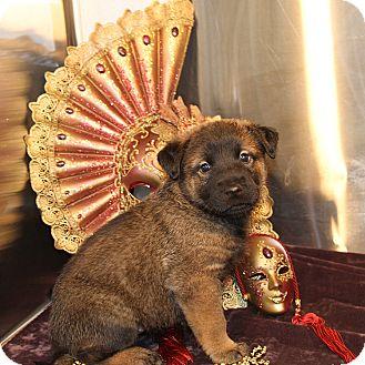 Shepherd (Unknown Type) Mix Puppy for adoption in Sacramento, California - Candra's Girls!