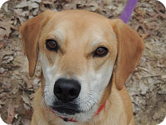 Labrador Retriever Mix Dog for adoption in Harrisonburg, Virginia - Sadie