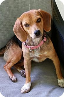 Beagle Mix Dog for adoption in Knoxville, Tennessee - Annie