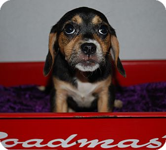 Beagle/Pug Mix Puppy for adoption in Waupaca, Wisconsin - Clove