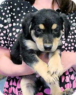 Labrador Retriever Mix Puppy for adoption in berwick, Maine - Micah