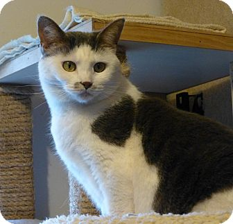 Domestic Shorthair Cat for adoption in Carlisle, Pennsylvania - Wanda