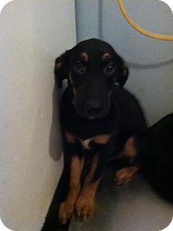 Labrador Retriever/Hound (Unknown Type) Mix Puppy for adoption in Darlington, South Carolina - Chance