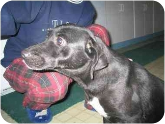 Terrier (Unknown Type, Small) Mix Dog for adoption in Cincinnati, Ohio - Gayla: SPONSORED