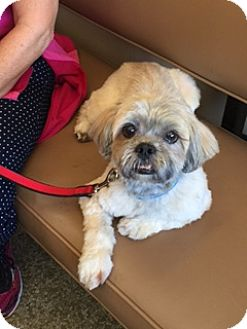 Lhasa Apso Mix Dog for adoption in Lafayette, California - Cooper