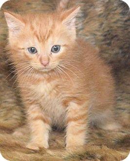 Domestic Mediumhair Kitten for adoption in Reston, Virginia - Clark