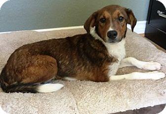 Australian Shepherd/Collie Mix Puppy for adoption in Menifee, California - Koko