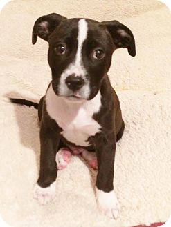 Boxer/Bulldog Mix Puppy for adoption in Kittery, Maine - WALTER