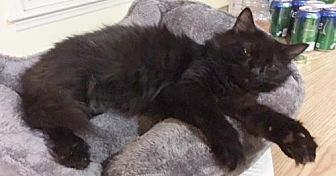 Domestic Longhair Cat for adoption in Madison, New Jersey - Vanna