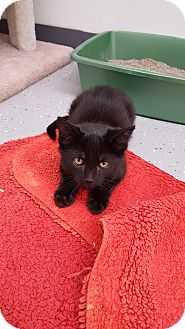 Domestic Shorthair Kitten for adoption in Danville, Indiana - onyx