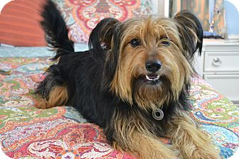 Glen of Imaal Terrier/Yorkie, Yorkshire Terrier Mix Dog for adoption in Staunton, Virginia - Sandi