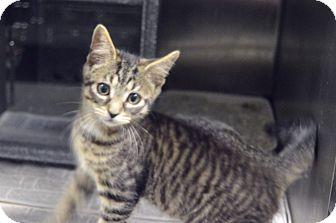 Domestic Shorthair Kitten for adoption in Henderson, North Carolina - Lewis
