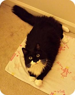 Maine Coon Cat for adoption in Absecon, New Jersey - Kimmy