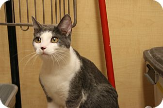 Domestic Shorthair Cat for adoption in Rochester, Minnesota - Crackers