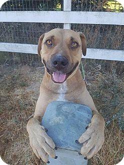 Labrador Retriever/Black Mouth Cur Mix Dog for adoption in Lompoc, California - Louie