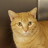Adopt A Pet :: Butterscotch - Lago Vista, TX