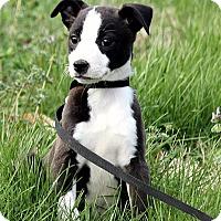 Adopt A Pet :: Lucas - Plainfield, CT