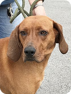 Vizsla/Rhodesian Ridgeback Mix Dog for adoption in Hot Springs, Virginia - Gummie Bear