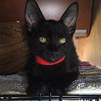 Bombay Kitten for adoption in Mission Viejo, California - Max and Johnny