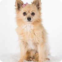 Adopt A Pet :: Zoey - St. Louis Park, MN