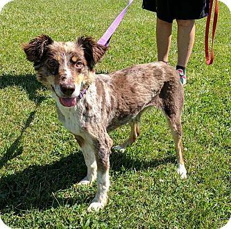Australian Shepherd Mix Dog for adoption in Lisbon, Ohio - Dez