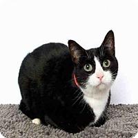 Domestic Mediumhair Cat for adoption in Murray, Utah - MITTENS
