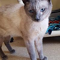 Siamese Cat for adoption in Salisbury, Massachusetts - Balboa - super friendly