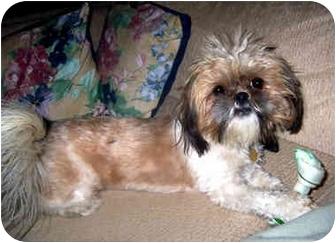 Shih Tzu Dog for adoption in Los Angeles, California - ELLA