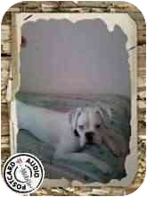 Boxer Mix Dog for adoption in Cincinnati, Ohio - Casper (Deaf)
