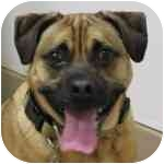 Pug/Beagle Mix Dog for adoption in Eatontown, New Jersey - Jake