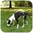 Photo 4 - American Staffordshire Terrier/American Bulldog Mix Dog for adoption in Mocksville, North Carolina - Geena