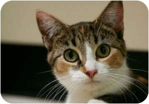 Domestic Shorthair Cat for adoption in Chicago, Illinois - Tillie