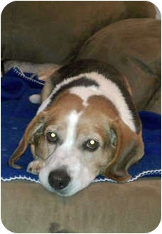 Beagle Dog for adoption in Waldorf, Maryland - Jack Frost