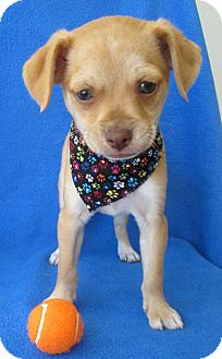 Beagle/Pug Mix Puppy for adoption in Irvine, California - Hardy