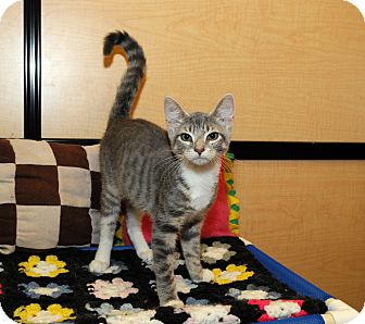 Domestic Shorthair Kitten for adoption in Farmingdale, New York - Jazzy