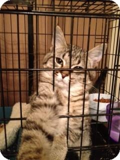 Domestic Shorthair Kitten for adoption in Wenatchee, Washington - Timmy
