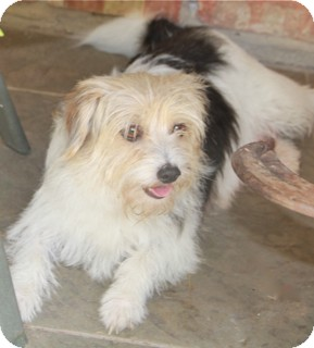 Maltese/Cairn Terrier Mix Dog for adoption in Norwalk, Connecticut - Carrie Ann - adoption pending