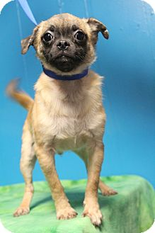 Pug/Terrier (Unknown Type, Small) Mix Puppy for adoption in Bedminster, New Jersey - Oswald