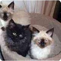 Adopt A Pet :: Cesear, Cybil. Cedric - Arlington, VA
